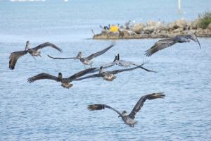 Pelicans along the race route
